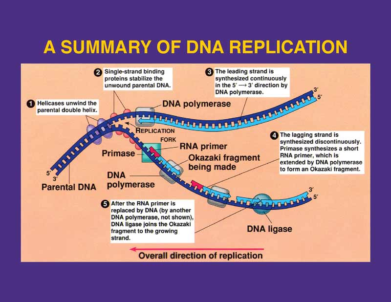 Dna Replication Diagram DNA replication  Picture